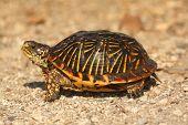 Western Box Turtle (terrapene Ornata)