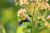 foto of bumble bee  - Bumble bee sitting on wild flower in garden - JPG