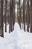 Footprints In A Pine Forest.