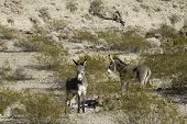 stock photo of wild donkey  - Wild burros in the Mojave Desert of Arizona - JPG