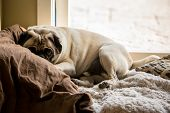 picture of snuggle  - A pug snuggles inside of a soft pile of blankets - JPG