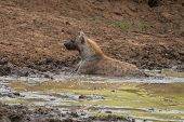 picture of hyenas  - A Hyena trying too cool off in some nice green mud.