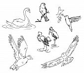 Vector Bird Sketches