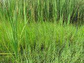 Vivid Green Pond Grass