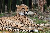 Cheetah lounging in the shade