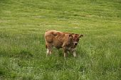 Beautiful Light Brown Calf