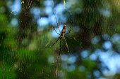 stock photo of creepy crawlies  - Nephila clavata spider on his web - JPG