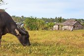 Rice Field In Palawan, Philippines, With Water Buffalo (carabao)