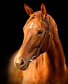picture of horse-breeding  - Portrait of red horse  Trakehner on a black background - JPG