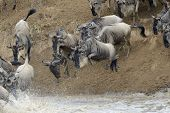 stock photo of wildebeest  - Wildebeest jumping in the Mara river while crossing the river - JPG