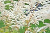 Feathery white Astilbe flowers