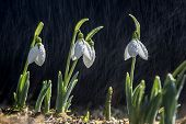 image of rain  - Snowdrop spring in the rain and shining light - JPG