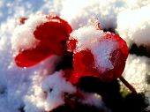 Red Begonias in snow