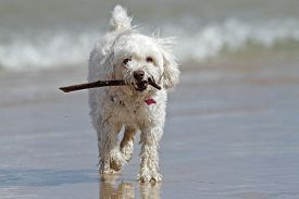 stock photo of cockapoo  - White Cockapoo Dog Carrying a Stick at the Beach  - JPG