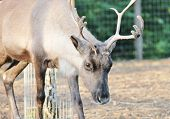 image of antlers  - Reindeer male with antler velvet peeling straw on ground - JPG