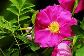 stock photo of climbing roses  - Beautiful pink roses in a botanical garden - JPG