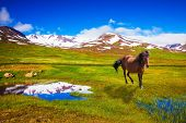 image of bay horse  - Bay Icelandic horse grazing in the meadow - JPG