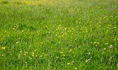 picture of buttercup  - Meadow with various grasses and yellow buttercups - JPG
