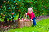 Постер, плакат: Little Boy With Apple Basket On A Farm