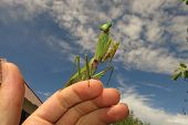 foto of creepy crawlies  - green praying mantis close up  - JPG