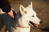 picture of husky  - Man holds his Siberian Husky during a walk into the park - JPG