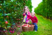 pic of apple orchard  - Child picking apples on a farm in autumn - JPG