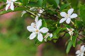 pic of gardenia  - close up white gardenia flower in garden - JPG