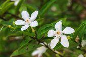 foto of gardenia  - close up white gardenia flower in garden - JPG