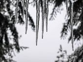stock photo of icicle  - Icicles with trees and snow in background - JPG
