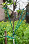 image of garter-belt  - Correction angle divergence of the branches of young fruit tree - JPG