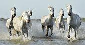 pic of wild horse running  - White horses of Camargue running through water - JPG