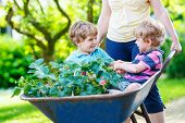stock photo of wheelbarrow  - Two little boys playing and having fun in a wheelbarrow pushing by mother in domestic garden on warm sunny day - JPG