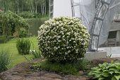 picture of begonias  - Growing shrub begonias - JPG