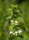 stock photo of nettle  - Wild flower White Dead - JPG