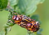 stock photo of potato bug  - two colorado beetle on potato leaf - JPG