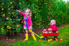 stock photo of little sister  - Child picking apples on a farm - JPG