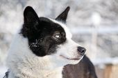 Profile Portrait Of Blue-eyed Sled Dog