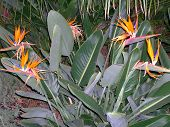 Bird Of Paradise Cactus