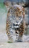 big wild cat animal in zoo