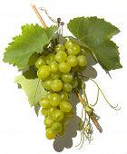Grape_15