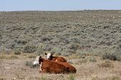 foto of hereford  - Hereford Cows on an open range in Wyoming - JPG