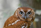 Screech Owl With An Intent Stare