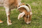 stock photo of azazel  - Closeup of a Goat with Horns and Long Ears - JPG
