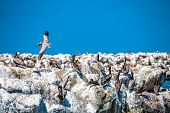 A flock of pelicans rest on a breakwater of boulders covered in white guano as a lone bird soars by. poster