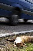 Fox Roadkill With Car