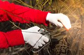 Man Pruning Tree Brunch With Pruning Shears. Red Gloves poster