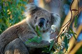 Koala - Phascolarctos Cinereus On The Tree In Australia, Eating, Climbing poster