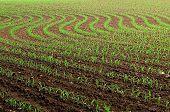 Early Corn In The Field