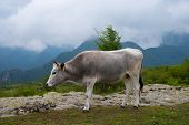 Primitive Cattle Breed. Bulgarian Gray Cattle Are An Old Local Breed. poster