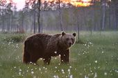 Brown Bear Next To a Sunset